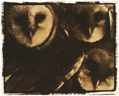 barn_owls_1.jpg